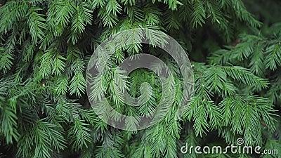 Αειθαλής διακοσμητικός θάμνος ιουνιπέρων στην περιοχή Ελαστικές πράσινες βελόνες στους κλάδους Κλάδοι ιουνιπέρων φιλμ μικρού μήκους