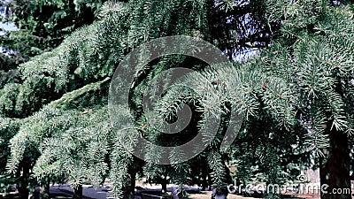 Αειθαλής κίνηση κλάδων δέντρων έλατου που ταλαντεύεται από το ισχυρό άνεμο στο πάρκο απόθεμα βίντεο