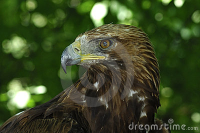 αετός χρυσός