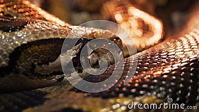 Ακραίος στενός επάνω ενός βιρμανός python απόθεμα βίντεο