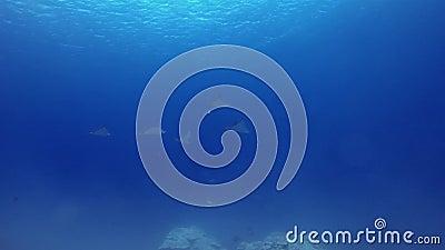 Ακτινίδες Αετού Σχολείο Ή Λευκά Ακτινίδια Ή Στίνγκρεϊ Που Κολυμπούν Μαζί Σε Βαθιά Μπλε Θάλασσα απόθεμα βίντεο