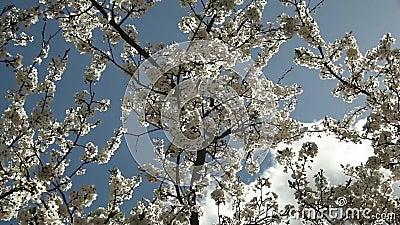 Ανθίζοντας δέντρο δαμάσκηνων με τα άσπρα λουλούδια μια ηλιόλουστη ημέρα ενάντια σε έναν μπλε ουρανό φιλμ μικρού μήκους