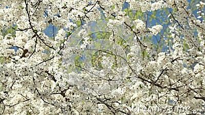 Ανθίζοντας δέντρο δαμάσκηνων με τα άσπρα λουλούδια μια ηλιόλουστη ημέρα ενάντια σε έναν μπλε ουρανό απόθεμα βίντεο