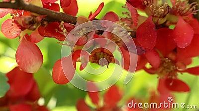 Ανθίζοντας κυδώνι Oblonga Cydonia απόθεμα βίντεο