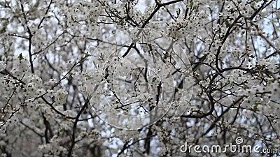 Ανοιξιάτικος κήπος σε ηλιόλουστη μέρα Κλαδιά ανθοφόρων δέντρων κυματίζουν στον άνεμο απόθεμα βίντεο