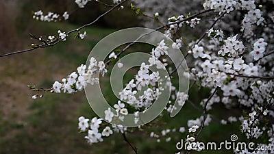 Ανοιξιάτικος κήπος σε ηλιόλουστη μέρα Κλαδιά ανθοφόρων δέντρων κυματίζουν στον άνεμο φιλμ μικρού μήκους