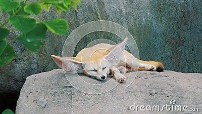 Αξιολάτρευτη αλεπού Fennec που κοιμάται σε μια μεγάλη πέτρα στο ζωολογικό κήπο Όμορφο ζώο αιχμαλωσίας με γουνοφόρα Βούλες Φενέκου απόθεμα βίντεο