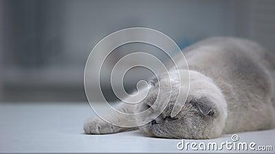 Αξιολάτρευτη γάτα που κοιμάται άνετα, φουσκωμένο κατοικίδιο με ωραία γούνα, διαφήμιση απόθεμα βίντεο