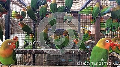Αποικία παπαγάλων του Φίσερ - νέα πουλιά αγάπης σε έναν μεγάλο αριθμό απόθεμα βίντεο