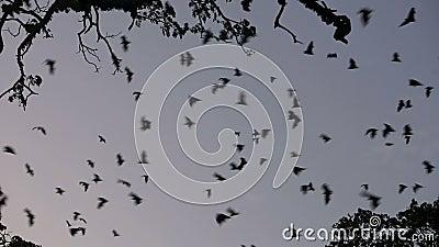 Αποικία ροπάλων φρούτων (πετώντας αλεπού) που πετά στο σούρουπο φιλμ μικρού μήκους