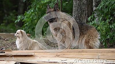 αποφλοίωση wolfdog έξω από τους θάμνουση Γούνινη κρόκη σκυλιών λύκων υπαίθρια, κανένας άνθρωπος φιλμ μικρού μήκους