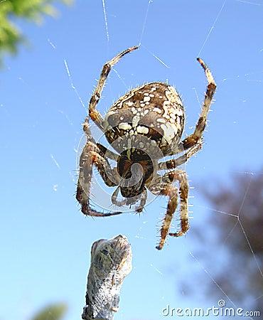 αράχνη κήπων