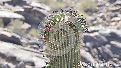 Αριζόνα, έρημος, στενός ένας επάνω ενός νέκταρ κατανάλωσης περιστεριών από τα λουλούδια πάνω από έναν κάκτο saguaro απόθεμα βίντεο
