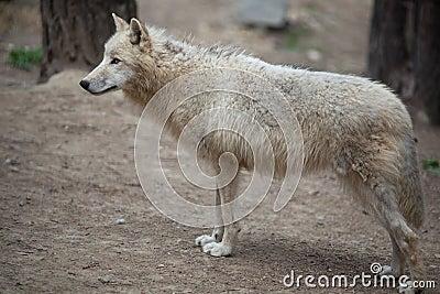 αρκτικός λύκος