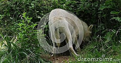 Αρκτικός λύκος, tundrarum Λύκου canis, θηλυκό που σκάβει τη γη, πραγματική - χρόνος φιλμ μικρού μήκους