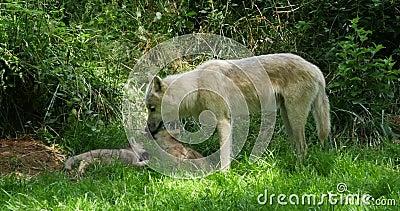 Αρκτικός λύκος, tundrarum Λύκου canis, μητέρα και cub που στέκονται κοντά στην είσοδο κρησφύγετων, πραγματική - χρόνος φιλμ μικρού μήκους