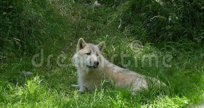Αρκτικός λύκος, tundrarum Λύκου canis, μητέρα που βάζει στη χλόη, πραγματική - χρόνος φιλμ μικρού μήκους