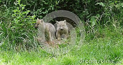 Αρκτικός λύκος, tundrarum Λύκου canis, cub παιχνίδι κοντά στην είσοδο κρησφύγετων, πραγματική - χρόνος απόθεμα βίντεο