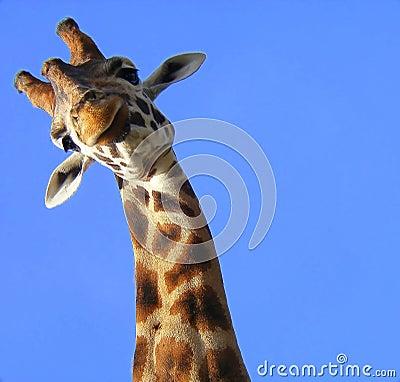 Στοκ φωτογραφίες: αστείο giraffe