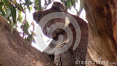 Αυστραλία, νησί καγκουρό, εξόρμηση στον εσωτερικό, άποψη μιας συνεδρίασης koala στους κλάδους ενός δέντρου ευκαλύπτων απόθεμα βίντεο