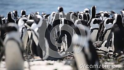 αφρικανική αποικία penguin απόθεμα βίντεο