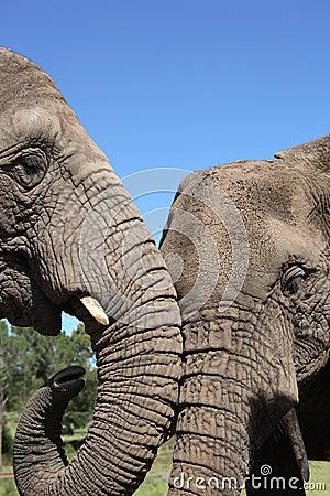 αφρικανικοί ελέφαντες