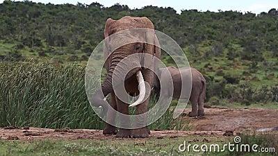 Αφρικανικός ελέφαντας Bull σε Musth απόθεμα βίντεο