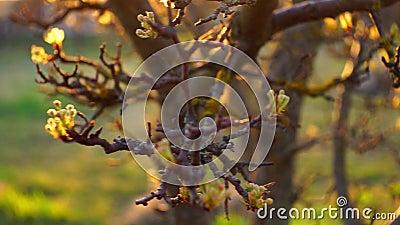 Αχλαδινό δέντρο που ανθίζει κοντά στον κήπο της άνοιξης Χρυσός ήλιος με ζεστό φως του ήλιου με ακτίνες απόθεμα βίντεο