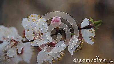 Βερίκοκα υποκαταστημάτων ανθοφορίας τον Απρίλιο Λεπτά λευκά λουλούδια στο ανοιξιάτικο δέντρο φρούτων κλείνουν Φρεσκάδα στον κήπο  φιλμ μικρού μήκους