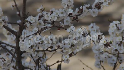 Βερίκοκα υποκαταστημάτων ανθοφορίας τον Απρίλιο Λεπτά λευκά λουλούδια στο ανοιξιάτικο δέντρο φρούτων κλείνουν Φρεσκάδα στον κήπο  απόθεμα βίντεο