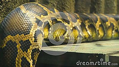 Βιρμανός σώμα python απόθεμα βίντεο