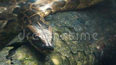 Βιρμανός python στους κλάδους απόθεμα βίντεο