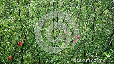 Βροχερή μέρα και μηλιά με μήλα φιλμ μικρού μήκους