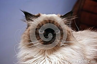 γάτα σοβαρή