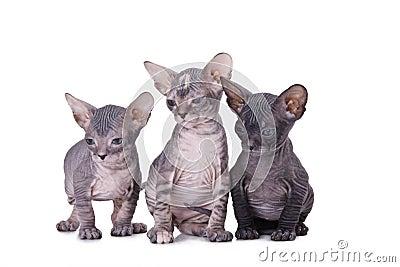 γάτα sphinx