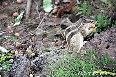 Γκρίζος σκίουρος