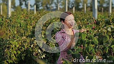 Γυναίκα αγρότης που εργάζεται με το δισκίο στο έμπλαστρο βατόμουρων απόθεμα βίντεο
