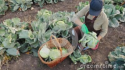 Γυναίκα αγρότης σε αγρό καθαρίζει ένα λάχανο με ένα μαχαίρι απόθεμα βίντεο