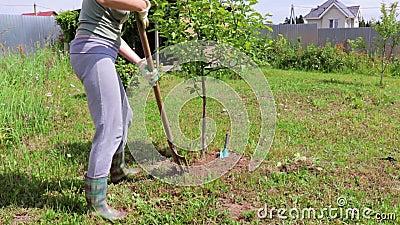 Γυναίκα κηπουρός σκάβει το έδαφος την άνοιξη με ένα φτυάρι γύρω από ένα μικρό δέντρο, φοράει γάντια και λαστιχένιες μπότες απόθεμα βίντεο
