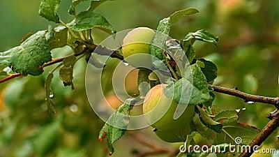 Δέντρο της Apple στη βροχή φιλμ μικρού μήκους