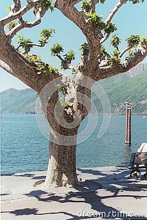 δέντρο ascona