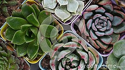 Διαφορετικά είδη succulent περιστροφής και μικρής διακοπής εγκαταστάσεων απόθεμα βίντεο