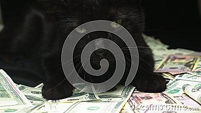 Δολάριο και μια μαύρη γάτα απόθεμα βίντεο