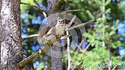 Δραστήριος σκίουρος στον κλάδο δέντρων απόθεμα βίντεο