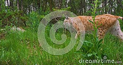 Δύο νέες ευρωπαϊκές γάτες λυγξ που περπατούν στο δάσος το βράδυ απόθεμα βίντεο