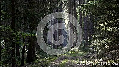 Ειδυλλιακή οδός που οδηγεί μέσα από το δάσος Spruce με ηλιακό φως φιλμ μικρού μήκους