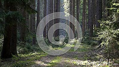 Ειδυλλιακή οδός που οδηγεί μέσα από το δάσος Spruce με ηλιακό φως απόθεμα βίντεο