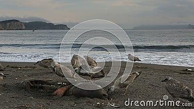 Ειρηνικός γλάρος που τρώει τη νεκρή σφραγίδα στην παραλία απόθεμα βίντεο