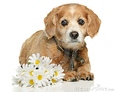 ενήλικο σκυλί cockapoo