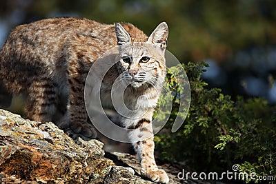 ενήλικο bobcat